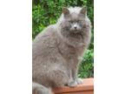Adopt Sassy a Gray or Blue Domestic Mediumhair / Mixed cat in York