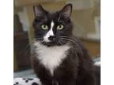 Adopt Sylvester a Black & White or Tuxedo Domestic Longhair / Mixed cat in San