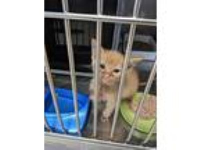 Adopt Laurence a Domestic Shorthair / Mixed (short coat) cat in Mocksville