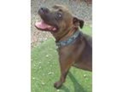 Adopt Magoo a Boxer, American Staffordshire Terrier