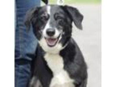 Adopt Rescue Sally a Border Collie, Hound