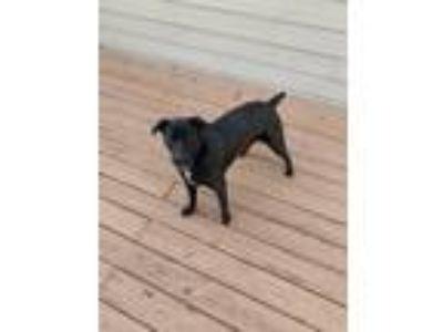 Adopt Penelope a Black - with White Labrador Retriever / Shepherd (Unknown Type)