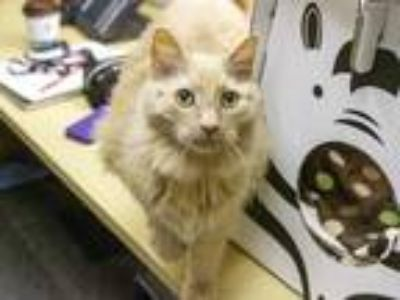 Adopt Calvin a Orange or Red Domestic Longhair / Domestic Shorthair / Mixed cat