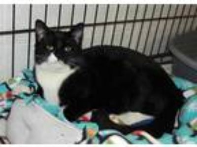 Adopt Figaro a All Black Domestic Shorthair / Domestic Shorthair / Mixed cat in
