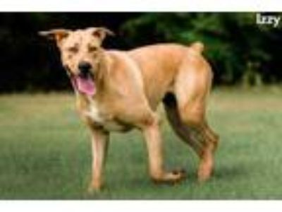 Adopt Izzy a Tan/Yellow/Fawn Retriever (Unknown Type) / Mixed dog in Cedar Hill