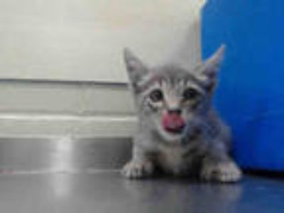 Adopt *SHAMROCK a Gray, Blue or Silver Tabby Domestic Shorthair / Mixed (short