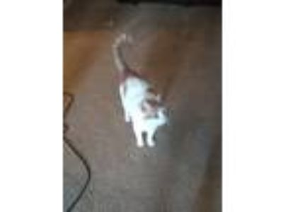 Adopt Tobey a Orange or Red American Shorthair / Mixed cat in San Antonio