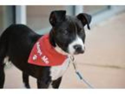 Adopt Pepper Potts a Pit Bull Terrier, American Staffordshire Terrier