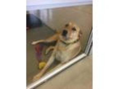 Adopt Malcom a Tan/Yellow/Fawn Labrador Retriever / Shepherd (Unknown Type) /