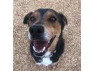 Adopt Alfie a Tricolor (Tan/Brown & Black & White) Beagle / Shepherd (Unknown