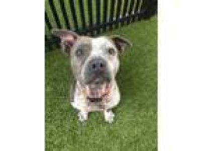 Adopt MaryLou a Pit Bull Terrier