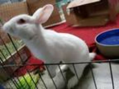 Adopt Griffin a Bunny Rabbit