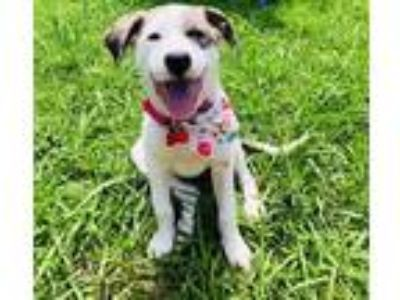 Adopt Gwendolyn a German Pinscher / Catahoula Leopard Dog / Mixed dog in