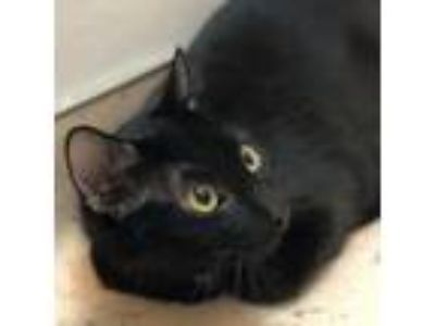 Adopt Frankie a All Black Domestic Shorthair / Domestic Shorthair / Mixed cat in