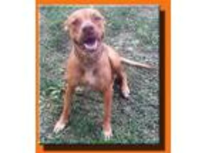 Adopt Benji a Red/Golden/Orange/Chestnut - with White Labrador Retriever /