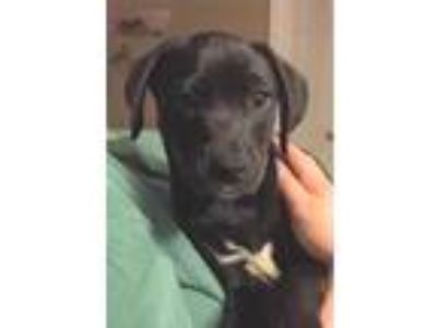 Adopt Shemp a Black Labrador Retriever / Mixed dog in Bloomingdale