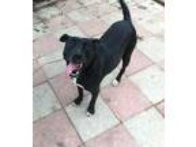 Adopt Emmy Lou a Black Labrador Retriever