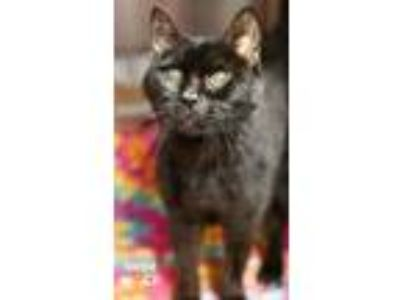 Adopt Sheba a All Black Domestic Shorthair / Domestic Shorthair / Mixed cat in