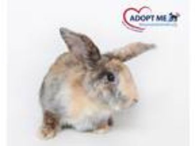 Adopt Harper a Fawn Other/Unknown / Mixed rabbit in Alexandria, VA (23355717)