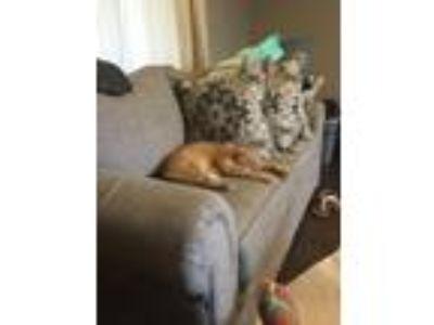 Adopt Simba a Orange or Red Tabby Domestic Shorthair cat in Kodak, TN (25315265)