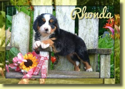 Rhonda Female Bernese Mountain Dog AKC
