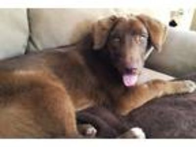 Adopt Mandy a Brown/Chocolate Labrador Retriever / Weimaraner / Mixed dog in Mt.