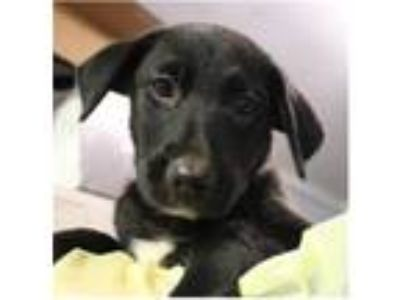 Adopt Stella Moon a Hound (Unknown Type) / Mixed dog in Pittsburgh