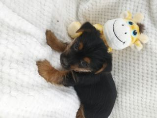 Yorkshire Terrier PUPPY FOR SALE ADN-76016 - Yorkie Puppies