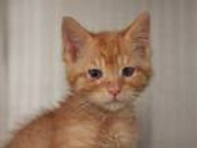 Adopt a Orange or Red Domestic Shorthair / Mixed (short coat) cat in STOCKTON
