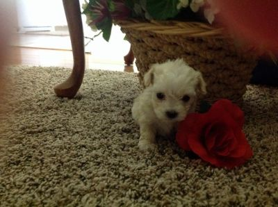 Maltese puppies for sale Males and females