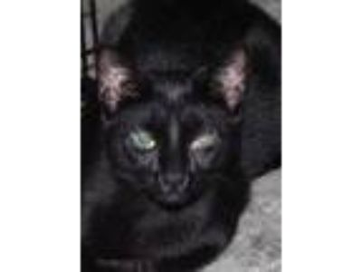 Adopt Foreclosure Black Girl Female a All Black Domestic Shorthair / Mixed cat