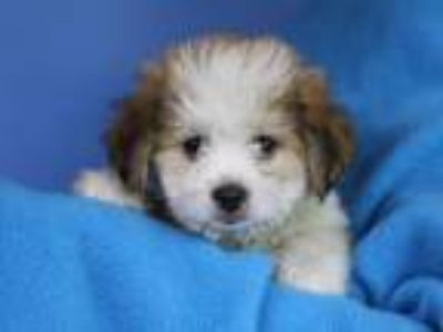 Adopt William a Shih Tzu
