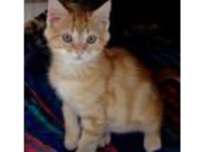 Adopt Captain America a Orange or Red Tabby Domestic Shorthair (short coat) cat