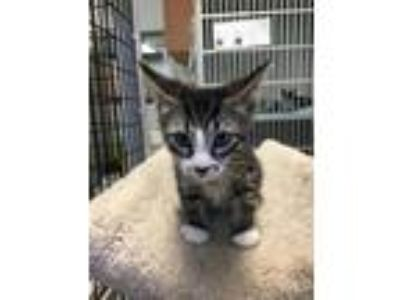 Adopt Narcissa a Domestic Shorthair / Mixed (short coat) cat in Lawrenceville