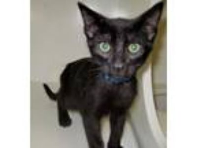 Adopt Noisy a All Black Domestic Shorthair (short coat) cat in Georgetown
