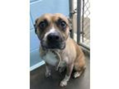 Adopt Zoe a Brown/Chocolate Boxer / Mixed dog in Yadkinville, NC (25863626)