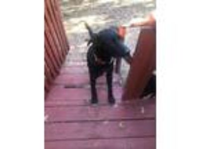Adopt Buddy & Chloe a Black Labrador Retriever, Collie