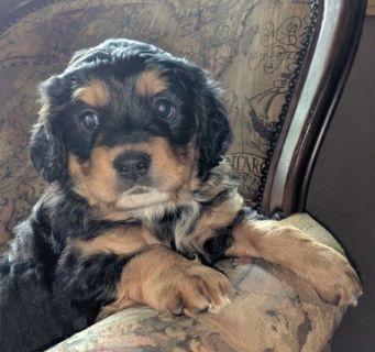 Miniature Bernedoodle-Bernese Mountain Dog Mix PUPPY FOR SALE ADN-82372 - Beautiful MINI BERNADOODLE Puppies