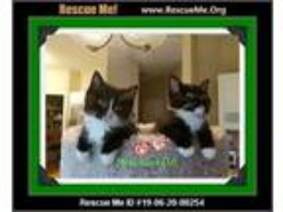 Adopt Merlot and Dax a Black & White or Tuxedo Maine Coon (long coat) cat in