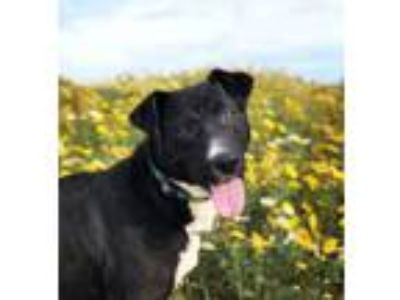 Adopt Lily a Mixed Breed, Labrador Retriever