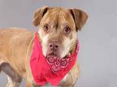 Adopt CASEY a Brindle American Pit Bull Terrier / Mixed dog in St.