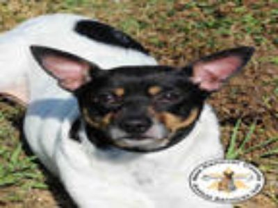 Adopt a Tricolor (Tan/Brown & Black & White) Rat Terrier / Jack Russell Terrier