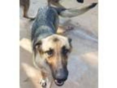 Adopt Tsu(Sue) a Tan/Yellow/Fawn German Shepherd Dog / Mixed dog in Brownwood