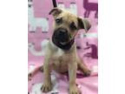 Adopt Tapa a Boxer, Pit Bull Terrier