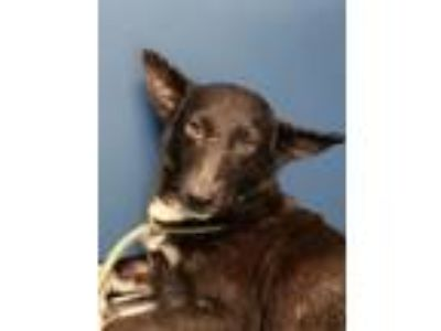 Adopt Chantilly a Shepherd, Mixed Breed