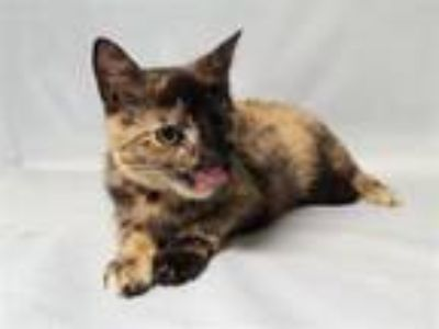 Adopt Sweets a Domestic Short Hair