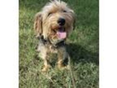 Adopt Cameron a Yorkshire Terrier, Terrier