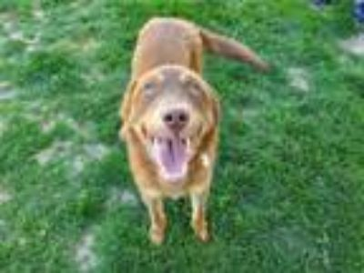 Adopt TAZ a Australian Cattle Dog / Blue Heeler, Mixed Breed