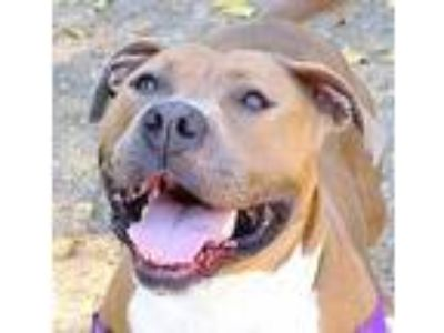 Adopt June Bug a Pit Bull Terrier