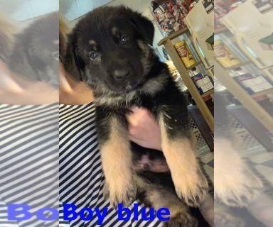 German Shepherd Dog PUPPY FOR SALE ADN-130980 - German Shepherd puppies